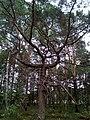 """Чудернацькі дерева у """"Поліському природному заповіднику"""" 03.jpg"""