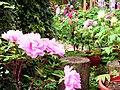 杉林溪牡丹園 Shanlinxi Peony Garden - panoramio (2).jpg