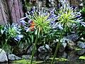 百子蓮 Agapanthus africanus - panoramio.jpg