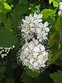 石蠶葉繡線菊 Spiraea chamaedryfolia -挪威 Jølster, Norway- (36284504816).jpg