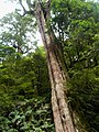 紅檜 Taiwan Red Cypress (Chamaecyparis formosensis) - panoramio.jpg
