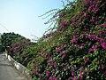 紫花 - panoramio.jpg