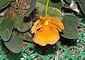 聚石斛 Dendrobium lindleyi -香港沙田洋蘭展 Shatin Orchid Show, Hong Kong- (42673195341).jpg