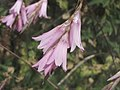 艷麗漏斗花 Dierama pulcherrimum -牛津大學植物園 Oxford Botanic Garden- (9193427592).jpg