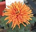 菊花-寒金 Chrysanthemum morifolium 'Chilly Gold' -中山小欖菊花會 Xiaolan Chrysanthemum Show, China- (11961170655).jpg