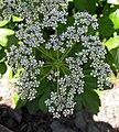 蘇格蘭藁本 Ligusticum scoticum -波蘭華沙 Powsin PAN Botanical Garden, Warsaw- (36645981605).jpg