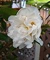 連蕊茶雜交-甜香水 Camellia (lutchuensis x japonica) Scentuous -深圳園博園茶花展 Shenzhen Camellia Show, China- (9255191930).jpg