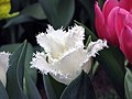 鬱金香-穗邊型 Tulipa Happy Hour -香港花展 Hong Kong Flower Show- (9237371317).jpg
