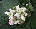 黑莓 Rubus fruticosus -巴黎植物園 Jardin des Plantes, Paris- (9240276850).jpg