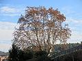 035 Plàtan d'en Gibert (Monistrol de Montserrat), arbre monumental.JPG