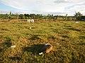 0533jfPaddy fields grasslands Cattle Church Gabihan San Ildefonso Bulacan Roadfvf 12.jpg
