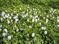 06339jfBarangay Eichhornia Flowers Pansinao Candaba Mount Arayat Pampanga Riverfvf 13.JPG