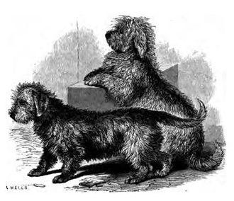 Dandie Dinmont Terrier - A drawing of two Dandie Dinmont Terriers from 1859.