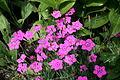 0 Dianthus deltoides alpinus - Yvoire.JPG