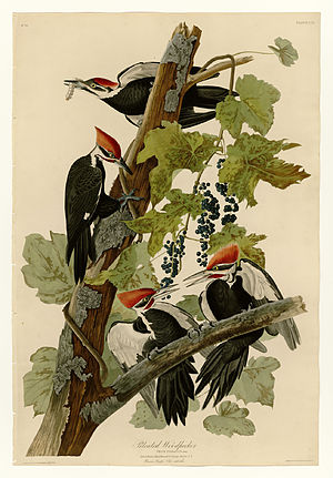 Pileated woodpecker - Plate 111 of the Birds of America by John James Audubon, depicting the pileated woodpecker