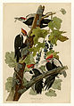 111 Pileated Woodpecker.jpg