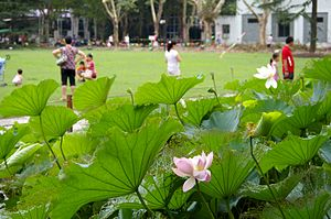 Zhongshan Park (Shanghai) - Lotus flowers in Zhongshan Park.