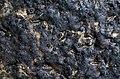 2012-06-19 Collemopsidium Nyl 229258.jpg