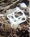 2013-10-06 Clathrus delicatus Berk. & Broome (1875) 372857.jpg