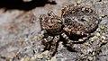 2013.06.04.-18-Viernheimer Heide Viernheim-Vierpunktspringspinne-Sitticus pubescens-Weibchen.jpg