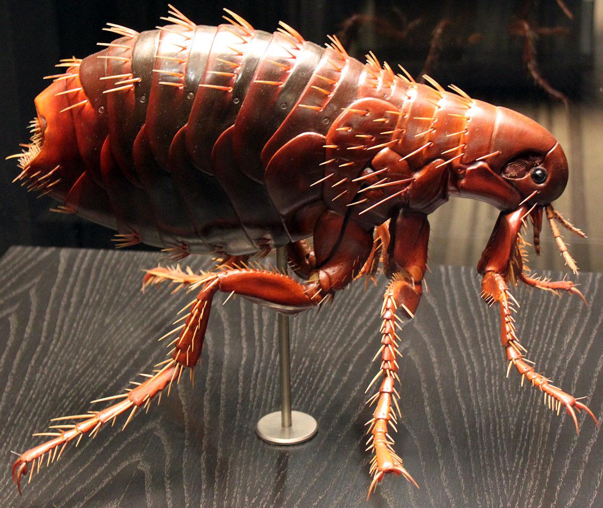 Pulicidae - Wiktionary