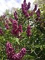 2014-05-18 11 30 07 Lilac in Elko, Nevada.JPG