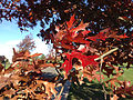 2014-11-02 14 14 23 Scarlet Oak foliage during autumn along Hunters Ridge Drive in Hopewell Township, New Jersey.jpg
