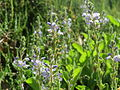 20140523Veronica officinalis2.jpg