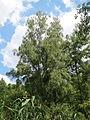 20140630Betula pubescens.jpg