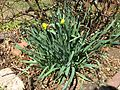 2015-04-12 11 31 52 Double daffodils blooming on Terrace Boulevard in Ewing, New Jersey.jpg