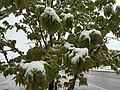 2015-05-07 07 46 55 New green leaves covered by a late spring wet snowfall on a Freeman's Maple on Silver Street in Elko, Nevada.jpg