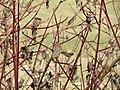 20150316Cornus sanguinea1.jpg