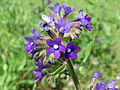 20150520Anchusa officinalis2.jpg