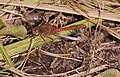 2016.10.11.-02-Vogelstangsee Mannheim--Grosse Heidelibelle-Paarungsrad.jpg