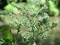 20160813Mentha longifolia1.jpg