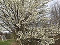 2017-02-28 14 42 27 Callery Pear blooming in Franklin Farm Park in the Franklin Farm section of Oak Hill, Fairfax County, Virginia.jpg