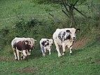2017-09-15 (117) Cows at Frankenfelsberg, Frankenfels, Austria.jpg