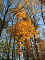 2017-11-10 16 05 53 View up into the canopy of several trees during late autumn within Hosepen Run Stream Valley Park in Oak Hill, Fairfax County, Virginia.jpg