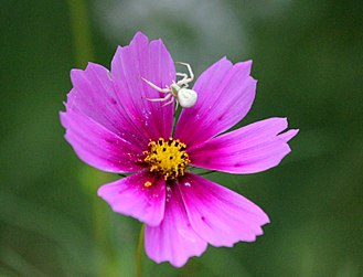 Thomisidae - Thomisidae (Crab Spider)
