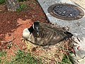 2018-05-31 13 48 26 Canadian Goose sitting on a nest in the parking lot of the Applebee's in Fair Lakes, Fairfax County, Virginia.jpg