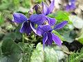 20190324 Viola odorata 1.jpg