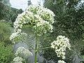 20190709Valeriana officinalis1.jpg
