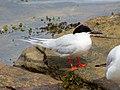 2020-07-18 Sterna dougallii, St Marys Island, Northumberland 11.jpg