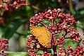 296紅擬豹斑蝶5(李淑惠攝) (12943962893).jpg
