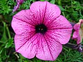 4258 - Thun - Obere Schleuse - Petunia.JPG