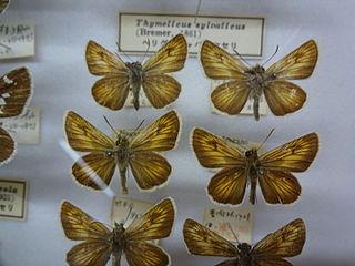 <i>Thymelicus sylvatica</i>