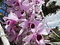 5604Camachile Doña Remedios Trinidad Orchids Bulacanfvf 05.JPG