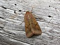 73.076 BF2400 Scarce Bordered Straw, Helicoverpa armigera (2547757834).jpg