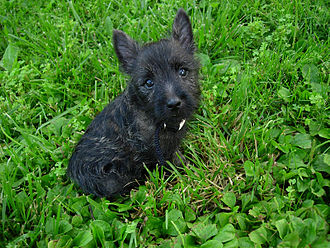Cairn Terrier - A nine-week-old Cairn Terrier with brindle coat