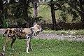 AFRICAN WILD DOG (12975342424).jpg
